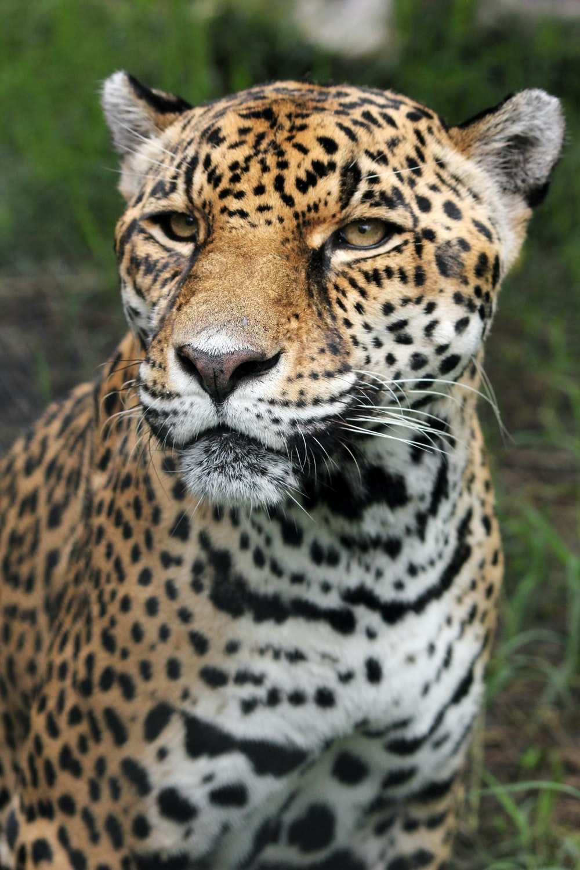 Tiger closeup photography
