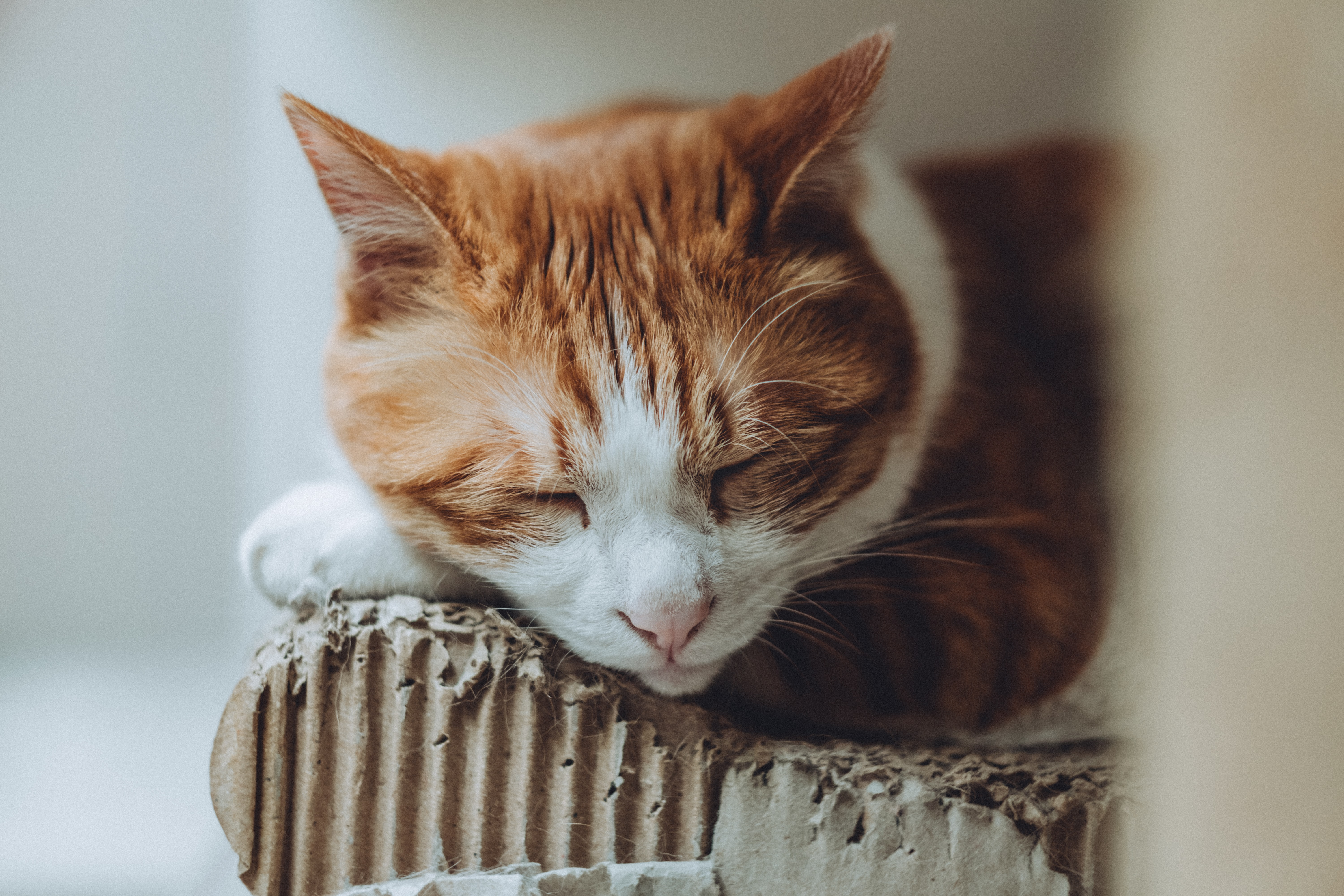 orange and white bicolor cat sleeping on wood panel
