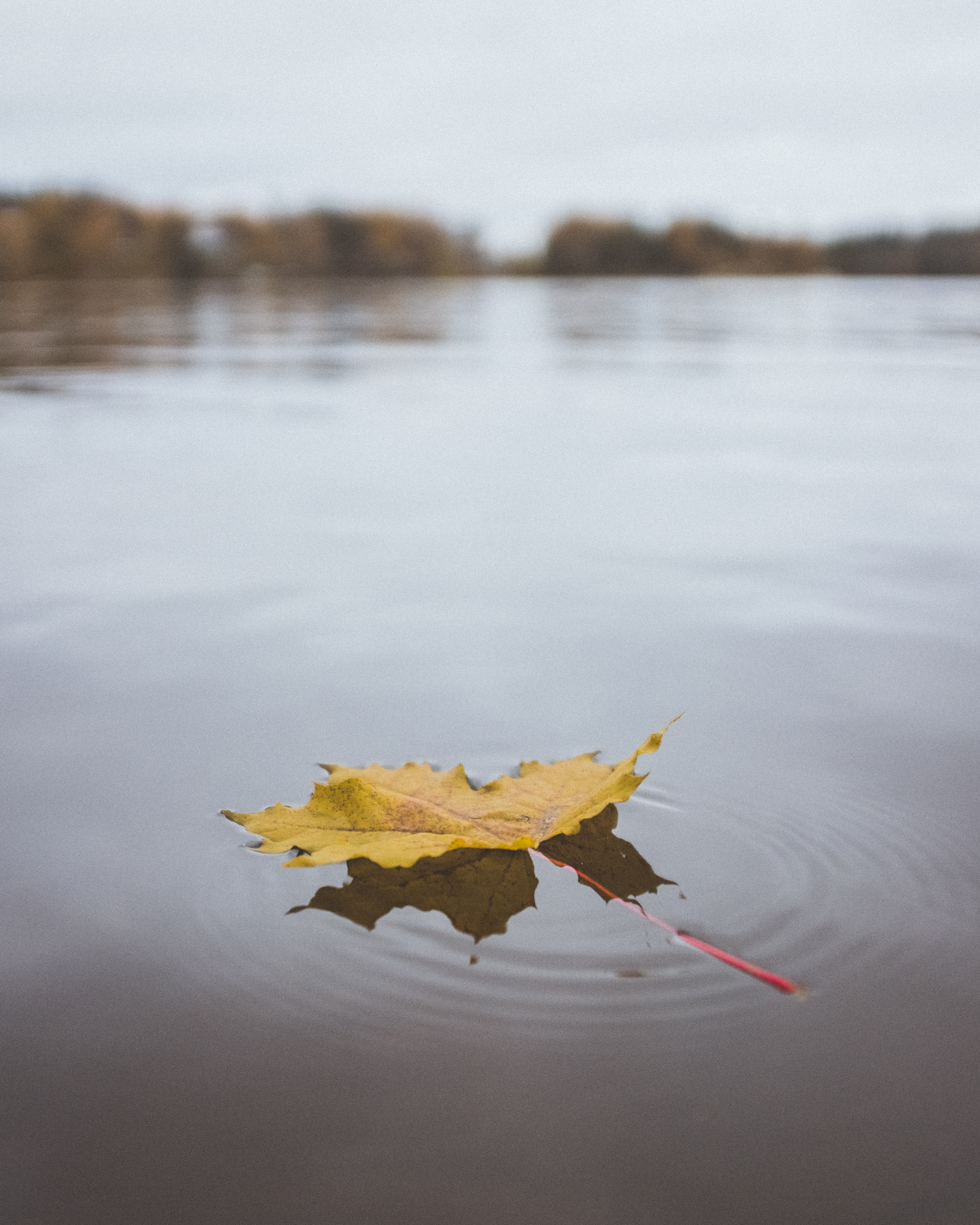 yellow maple leaf on calm waters