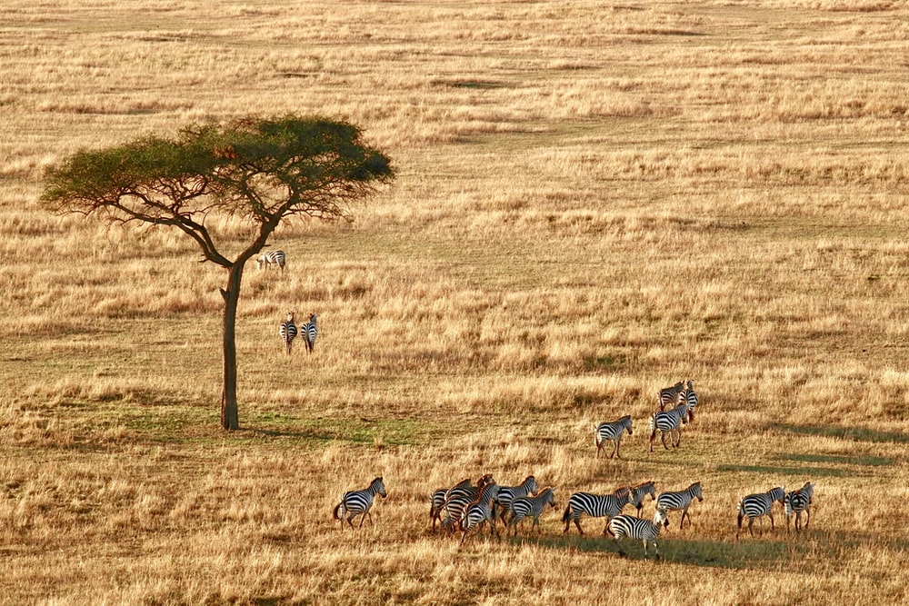 herd of zebra near tree