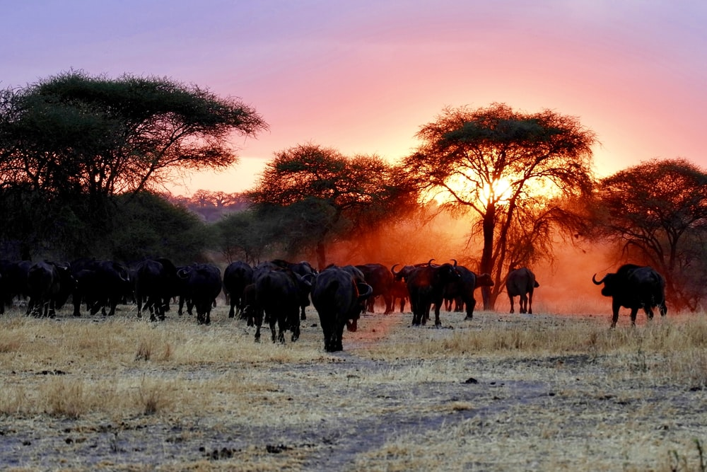 herd of water buffalo walking on grass field during golden hour