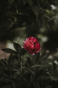 selective color of red petaled flower