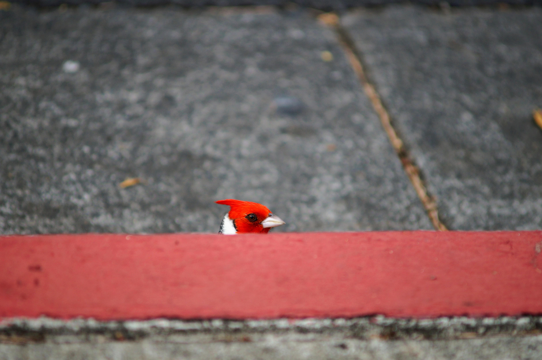 red bird on pavement