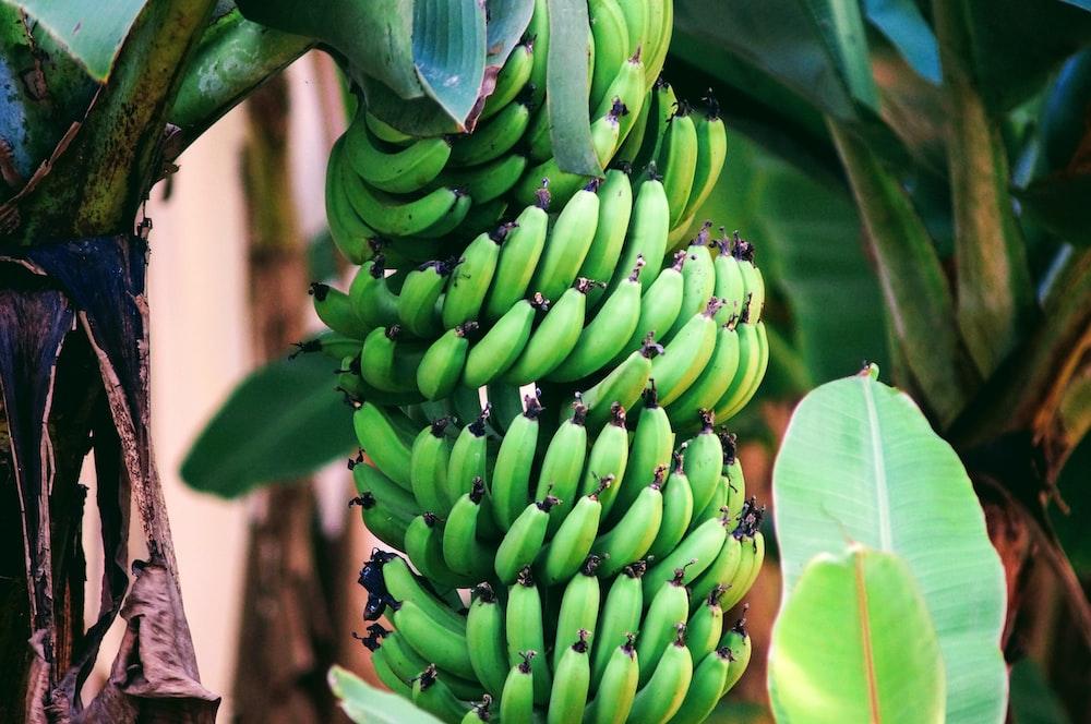 pile of green bananas