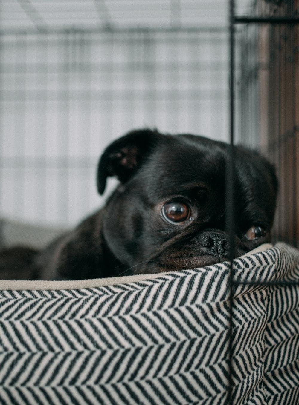 black English bulldog on bed