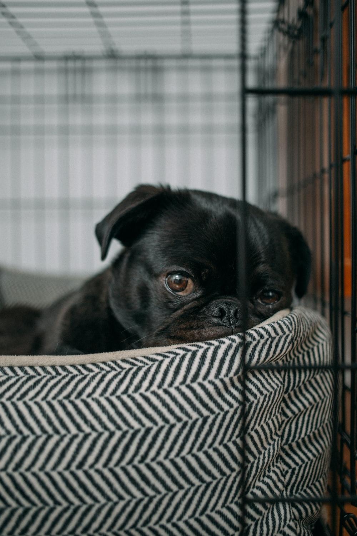 pug lying on pet bed