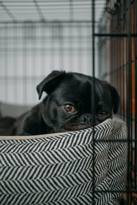pug lying on pet bed