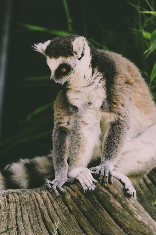 lemur on top brown branch