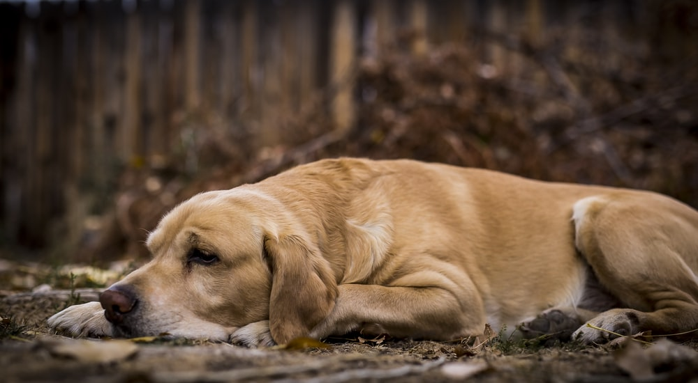 short-coated tan dog lying on soil