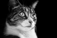 grayscale photo of silver tabby cat