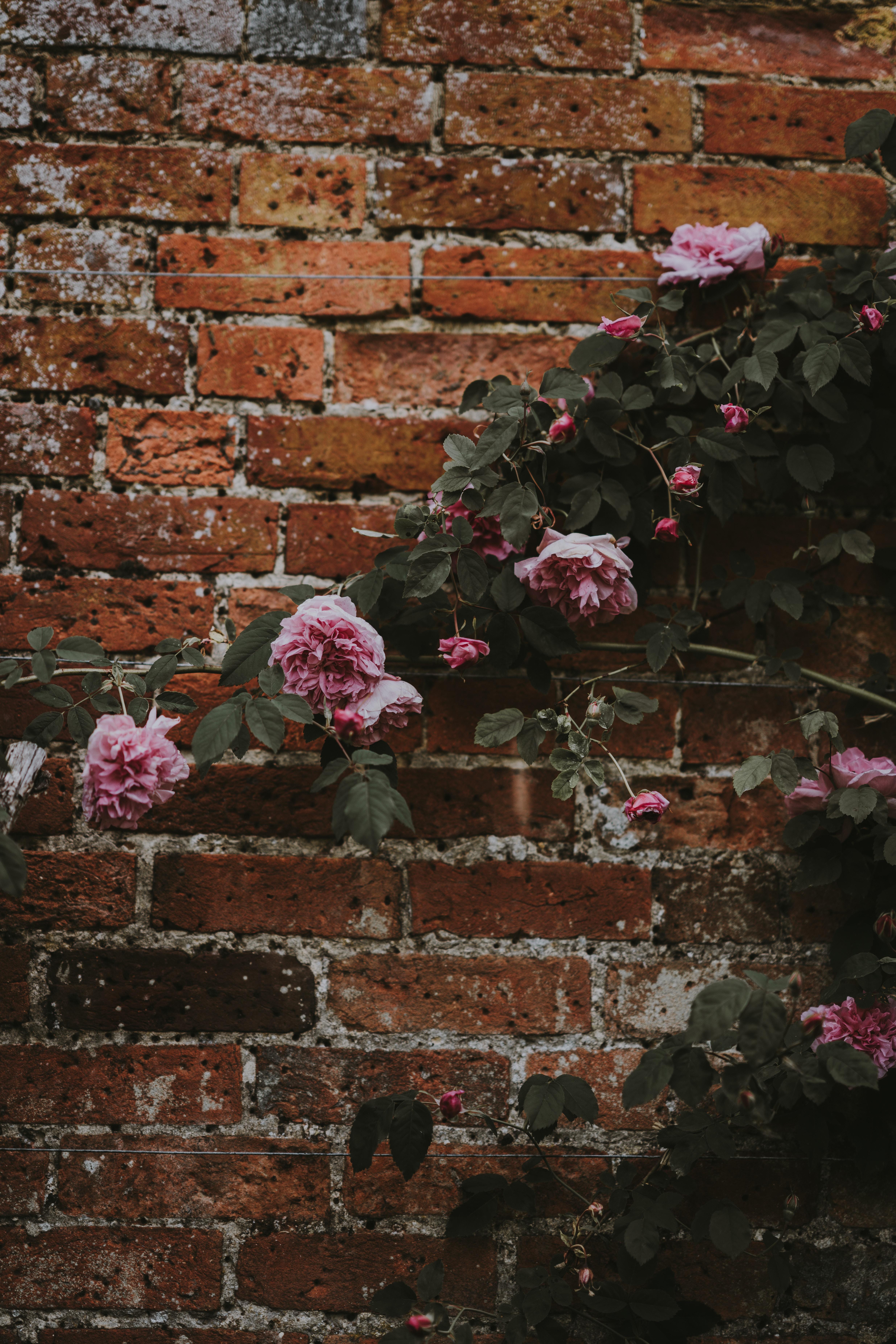 pink carnation flower plant