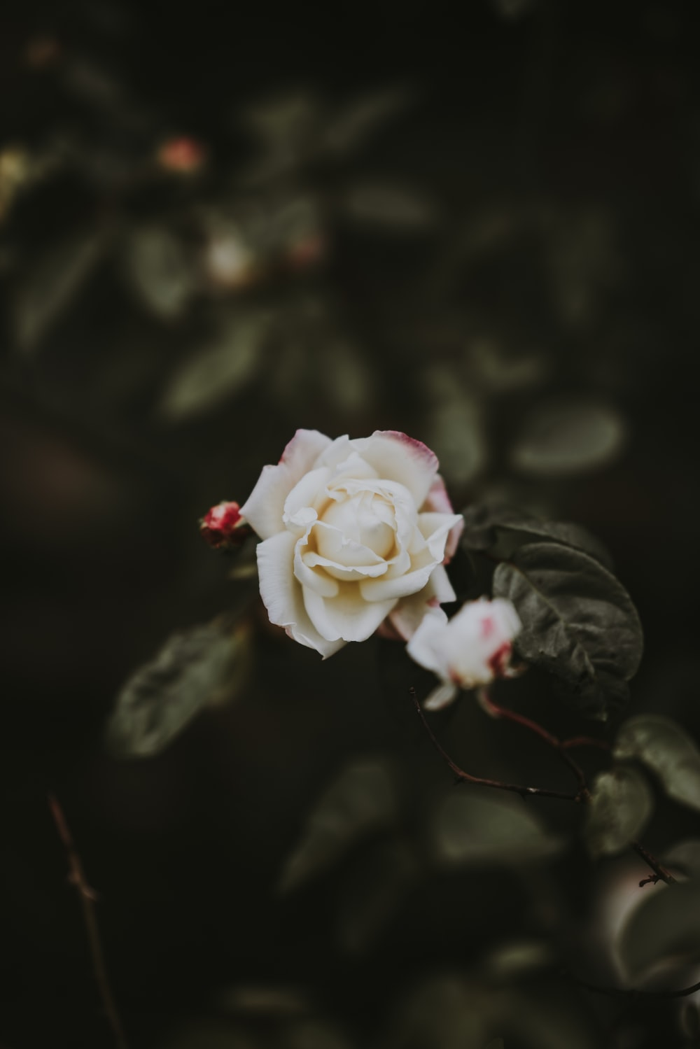 500 White Rose Pictures Hd Download Free Images On Unsplash