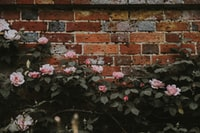 pink flowers beside brown concrete wall