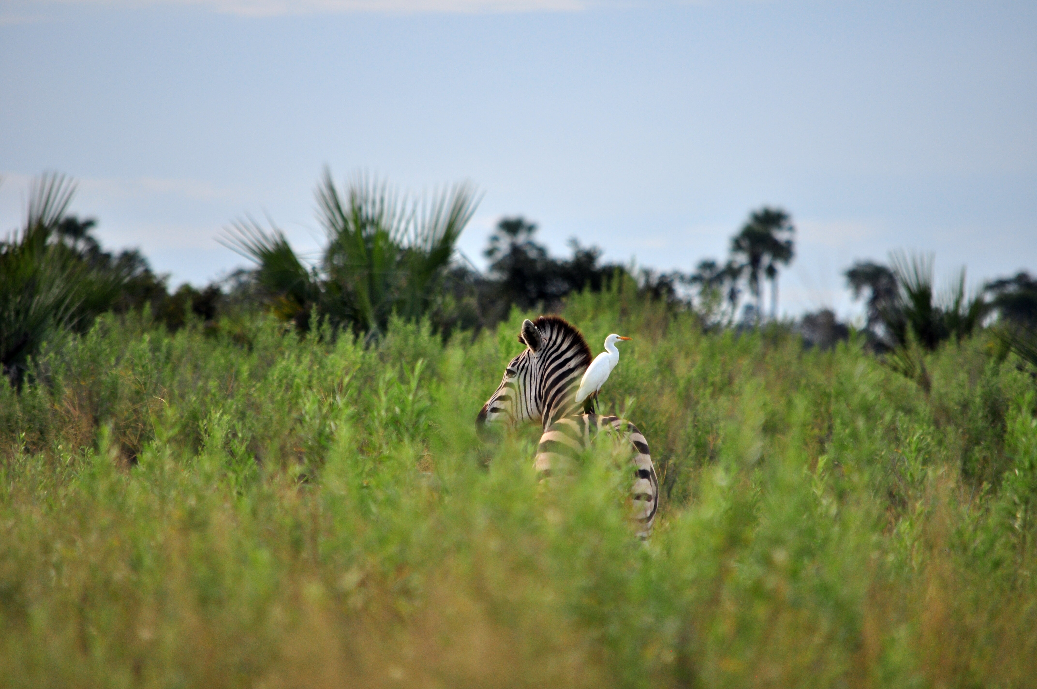 white bird perched on zebra back surrounded by green leaf plants at daytime
