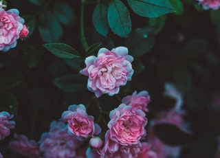 selective focus of pink roses