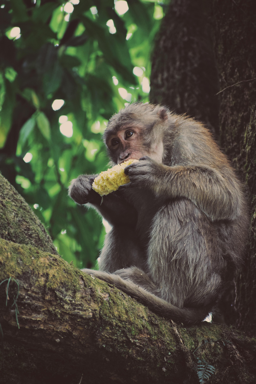 gray monkey eating corn