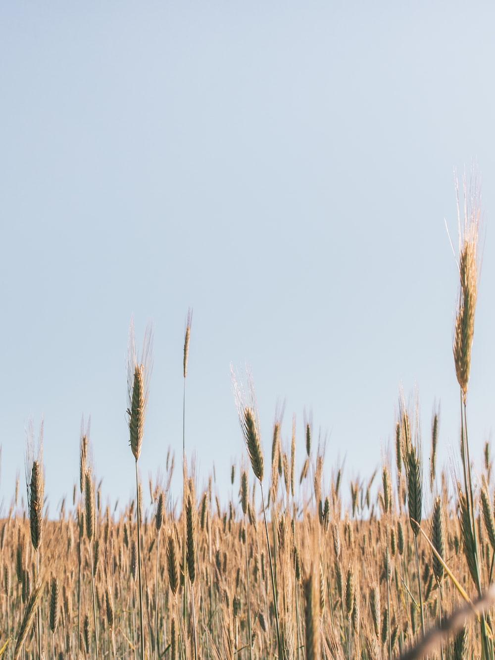 brown grains photograph