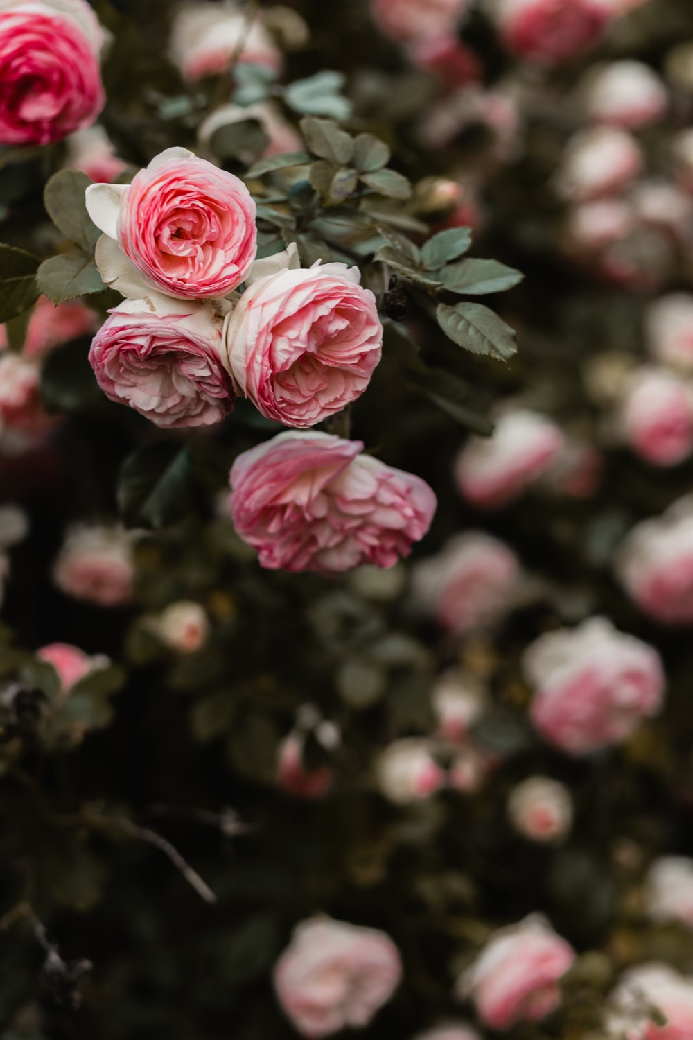 100 rose flower pictures download free images on unsplash pink petaled flowers selective focus photography mightylinksfo