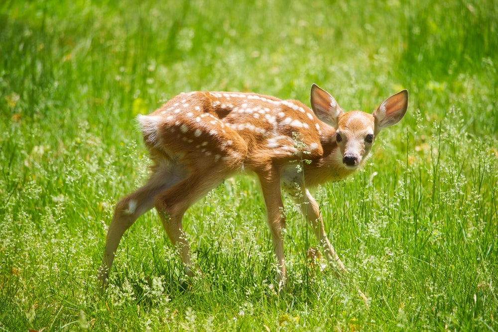 brown and white deer on green leafed grass during daytime