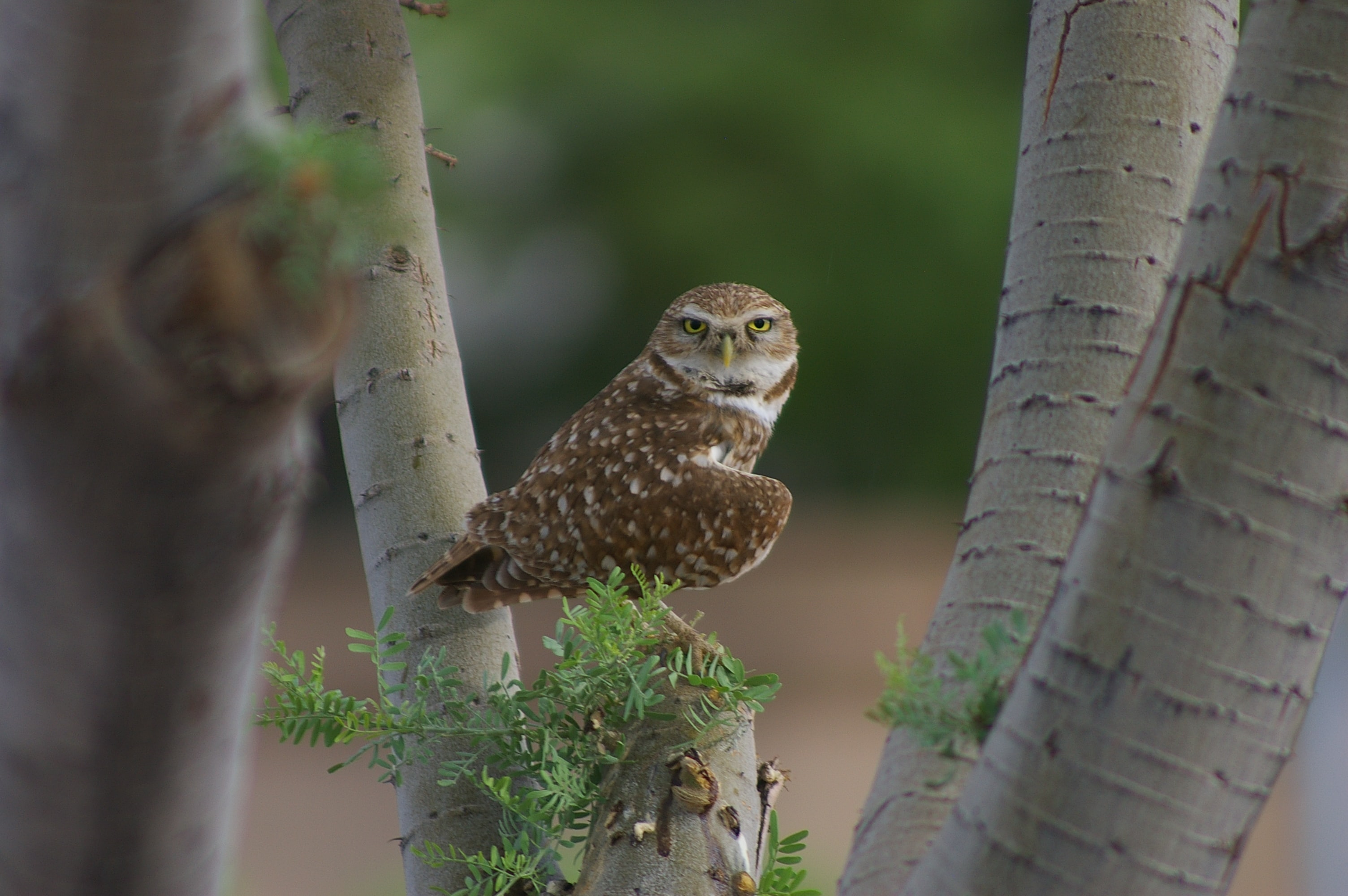 owl leaning sideway perching on twig