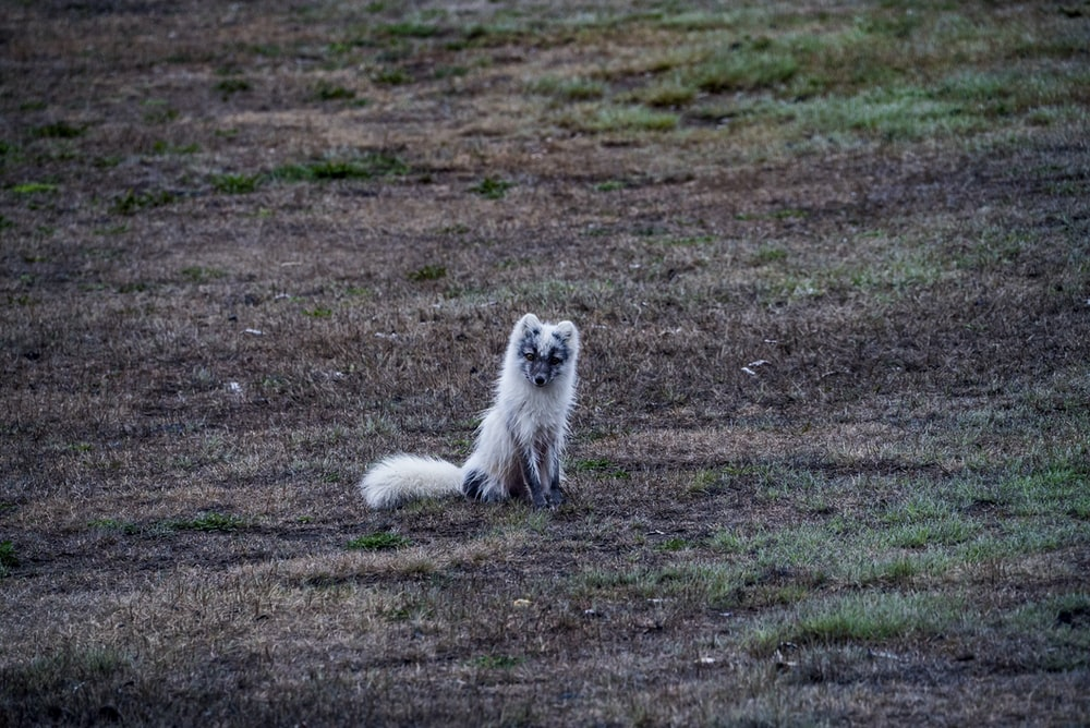 white fox sitting on brown soil