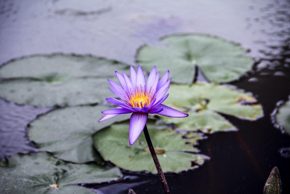 purple flower on water