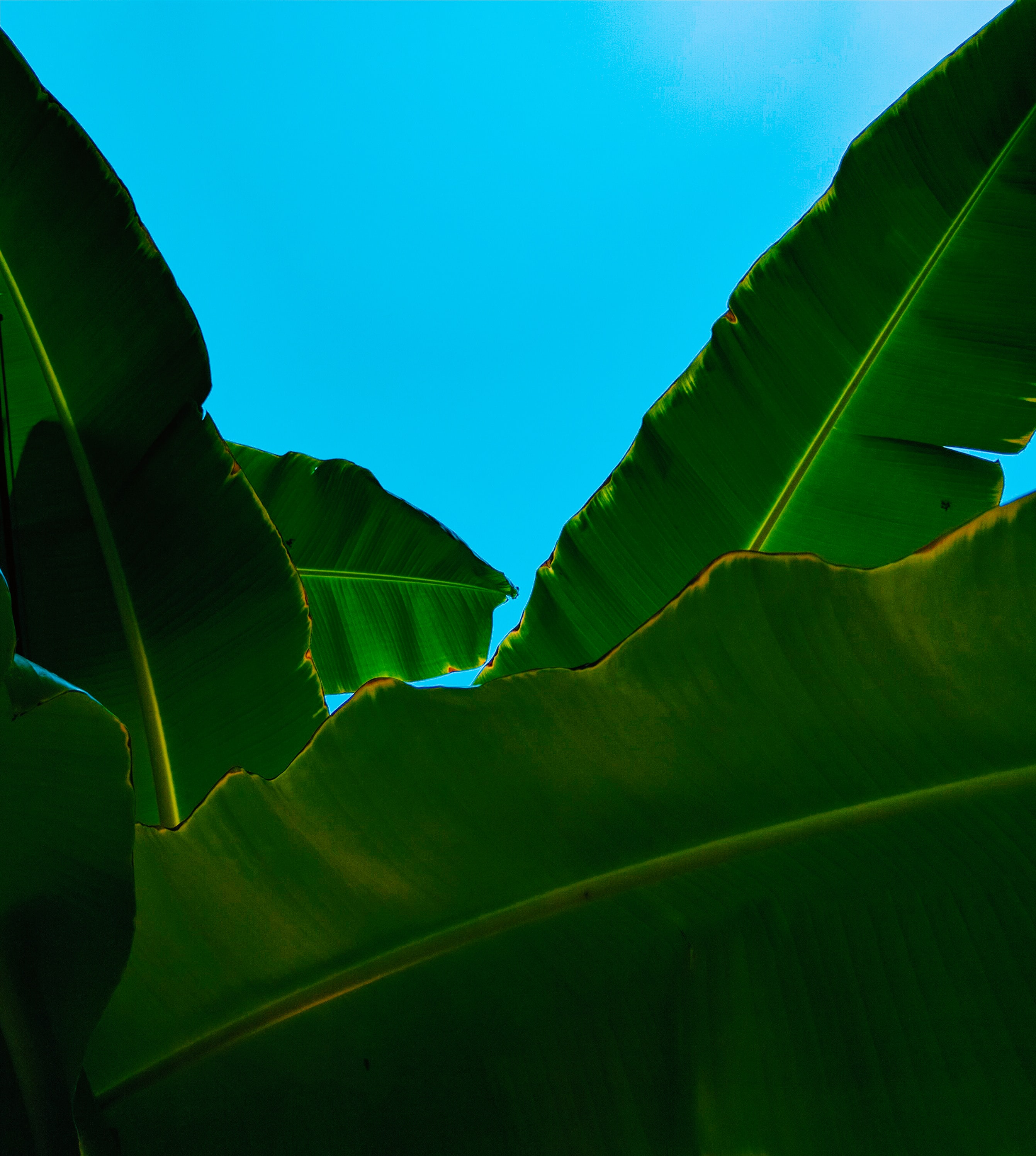 worms-eye-view of banana leaves