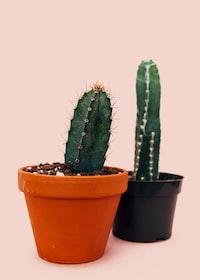 two cacti on orange and black pots