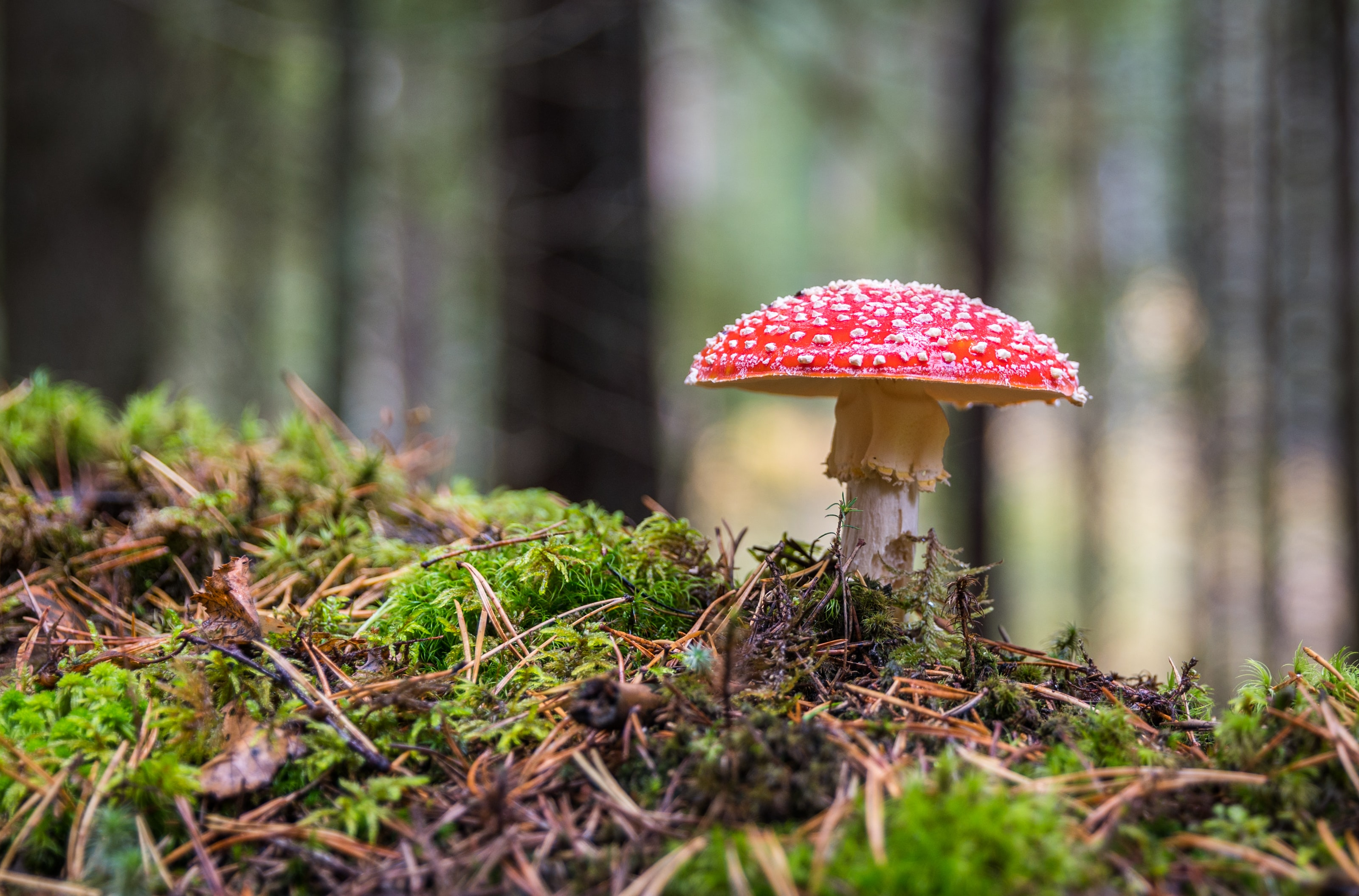 red mushroom selective focus photography