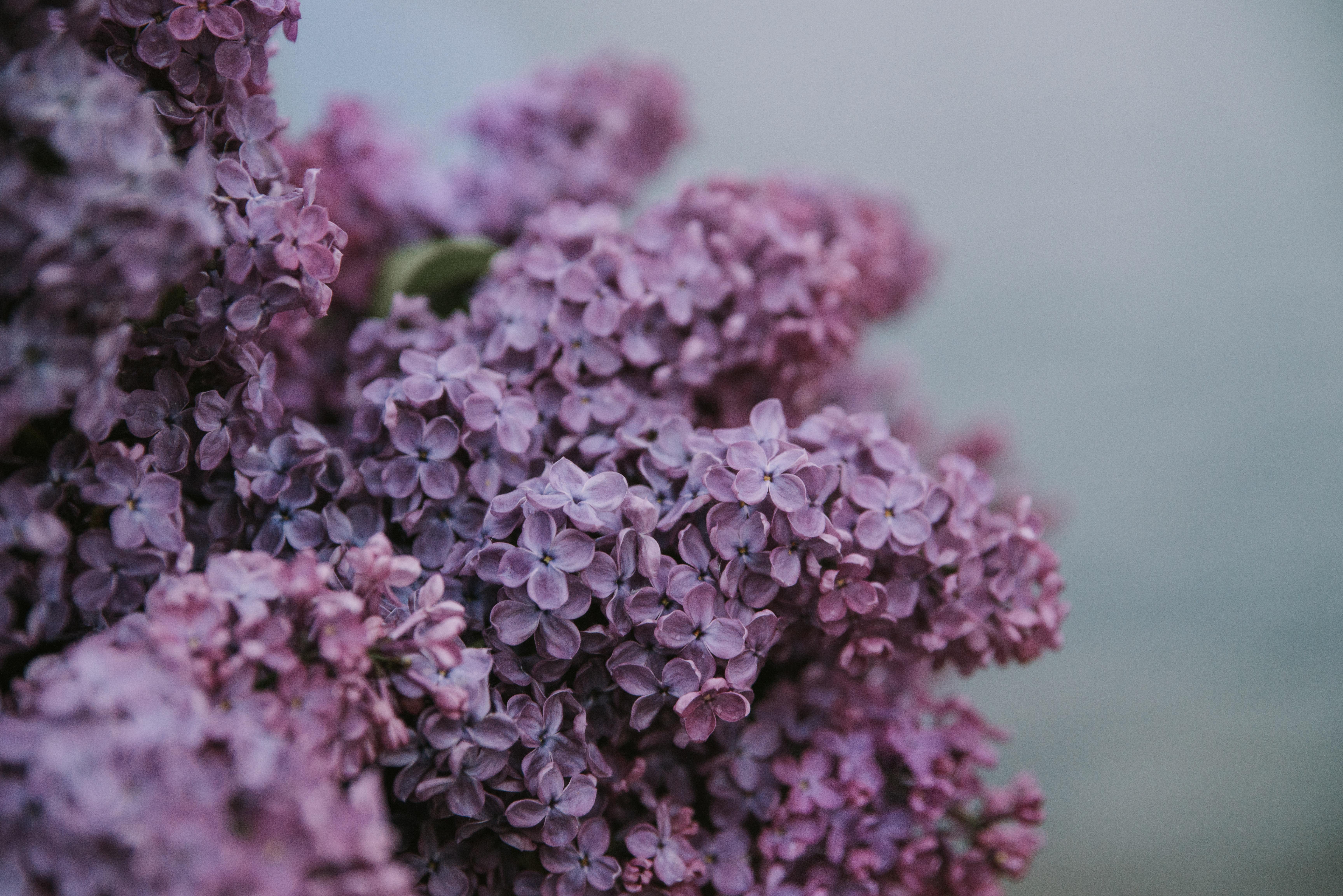 purple lilacs flowers closeup photography
