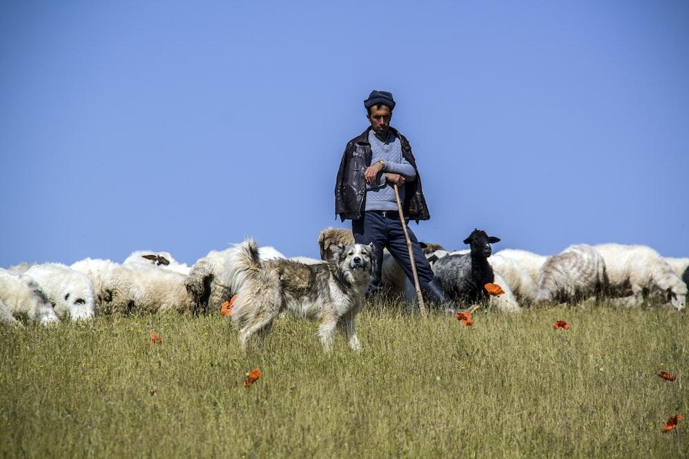 boy near herd of sheeps