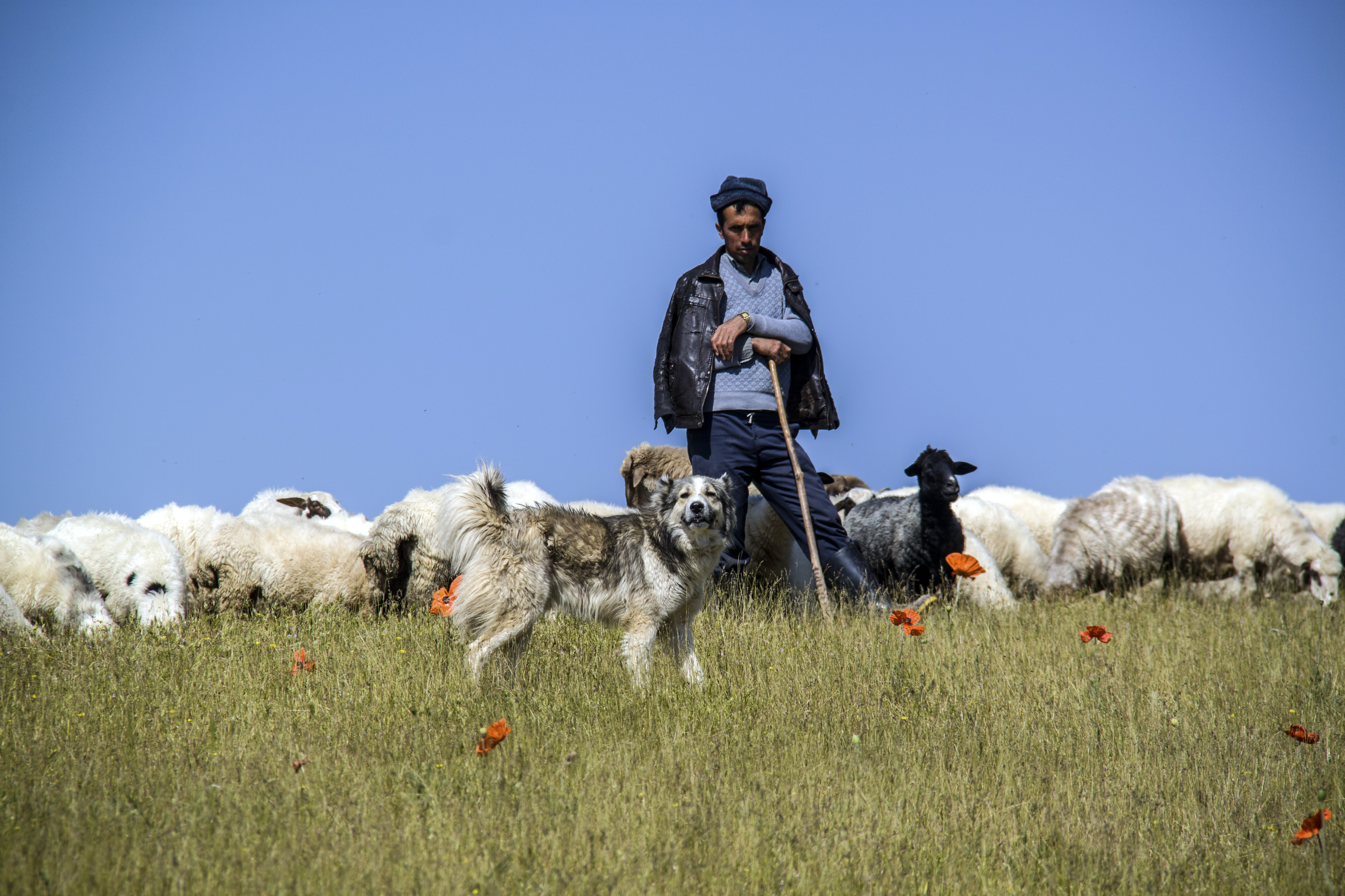 boy near herd of sheeps