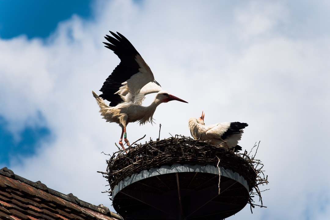 A couple of storks find an ideal place to build their nest. On a church.