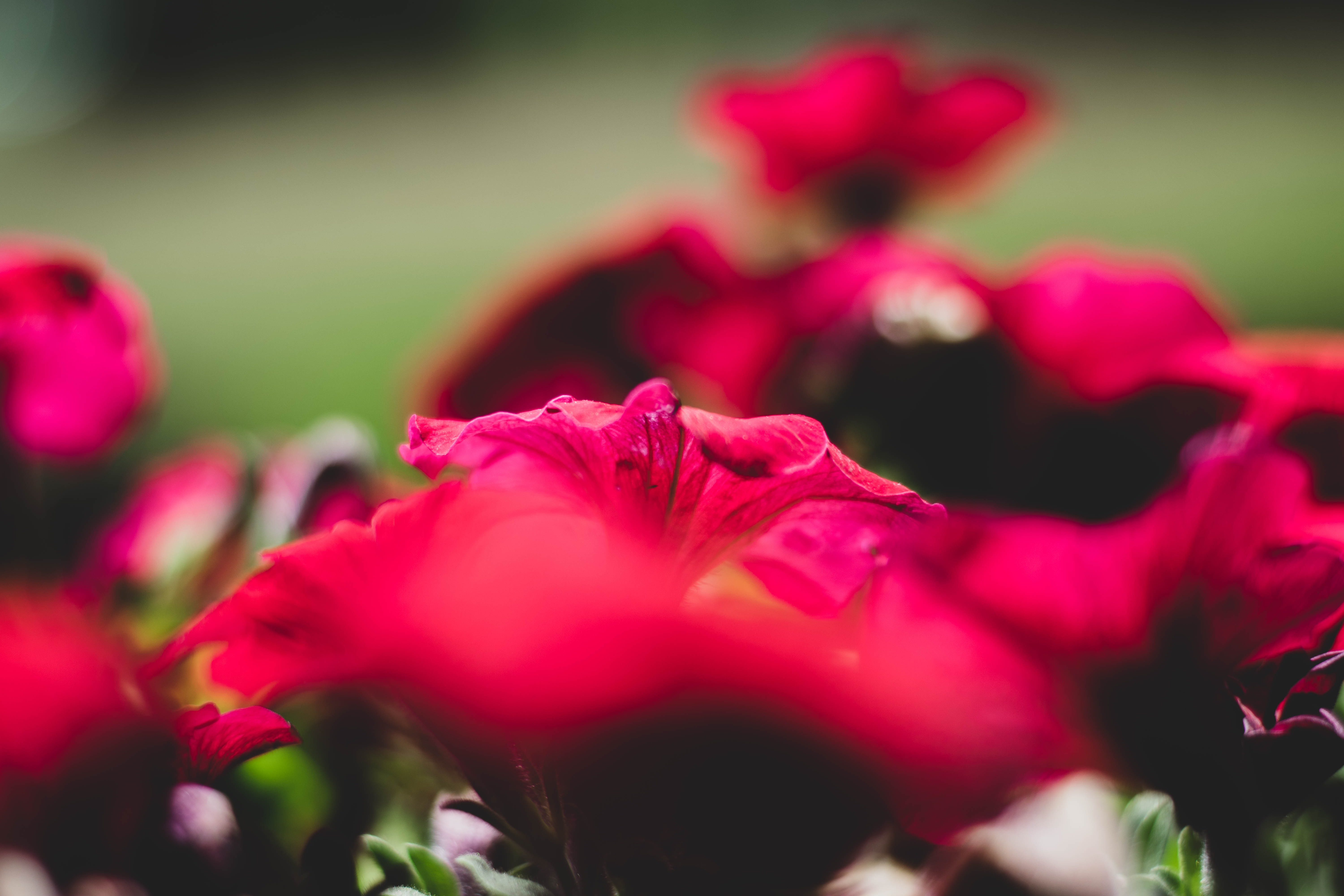 close-up photography of red flowers