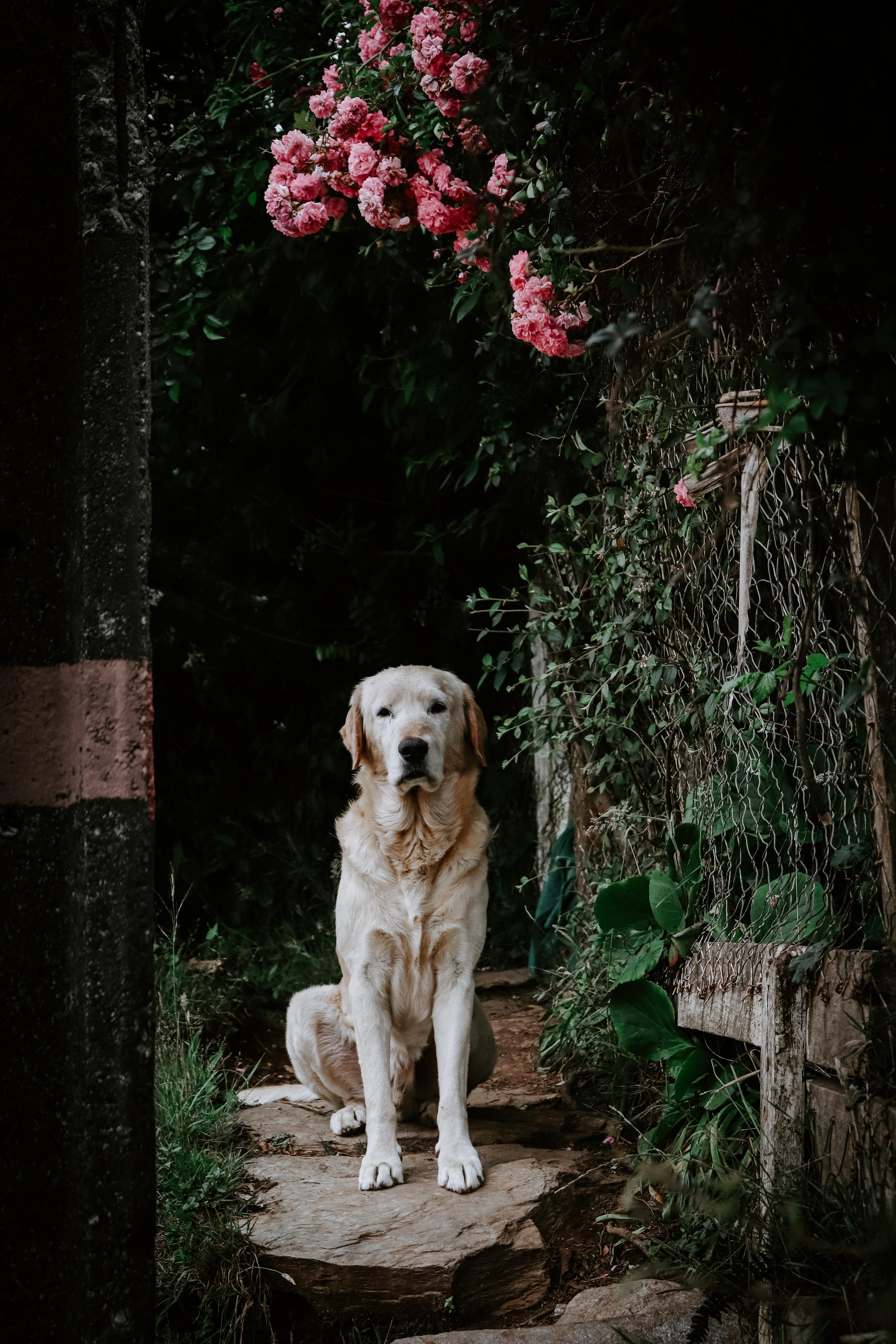 yellow Labrador retriever sitting on pathway