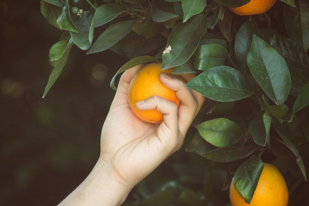 person picking orange fruit