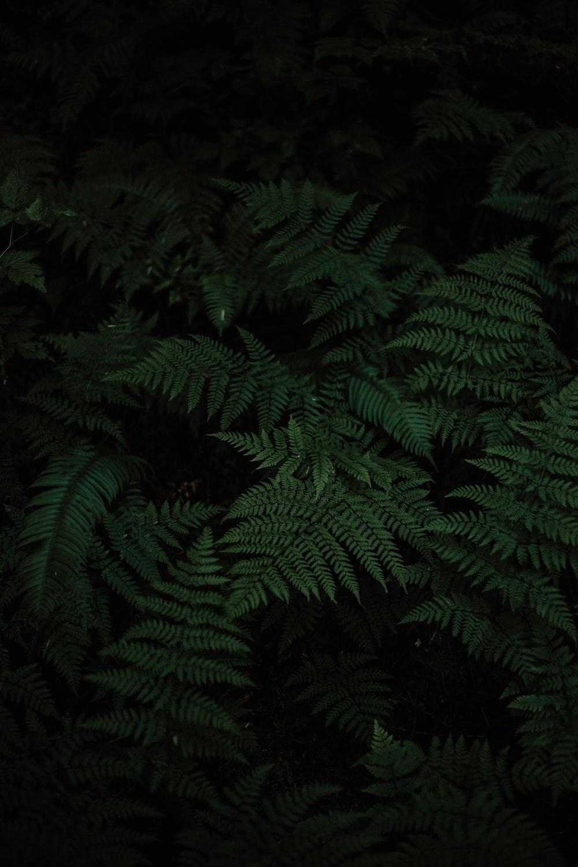 photo of Boston fern