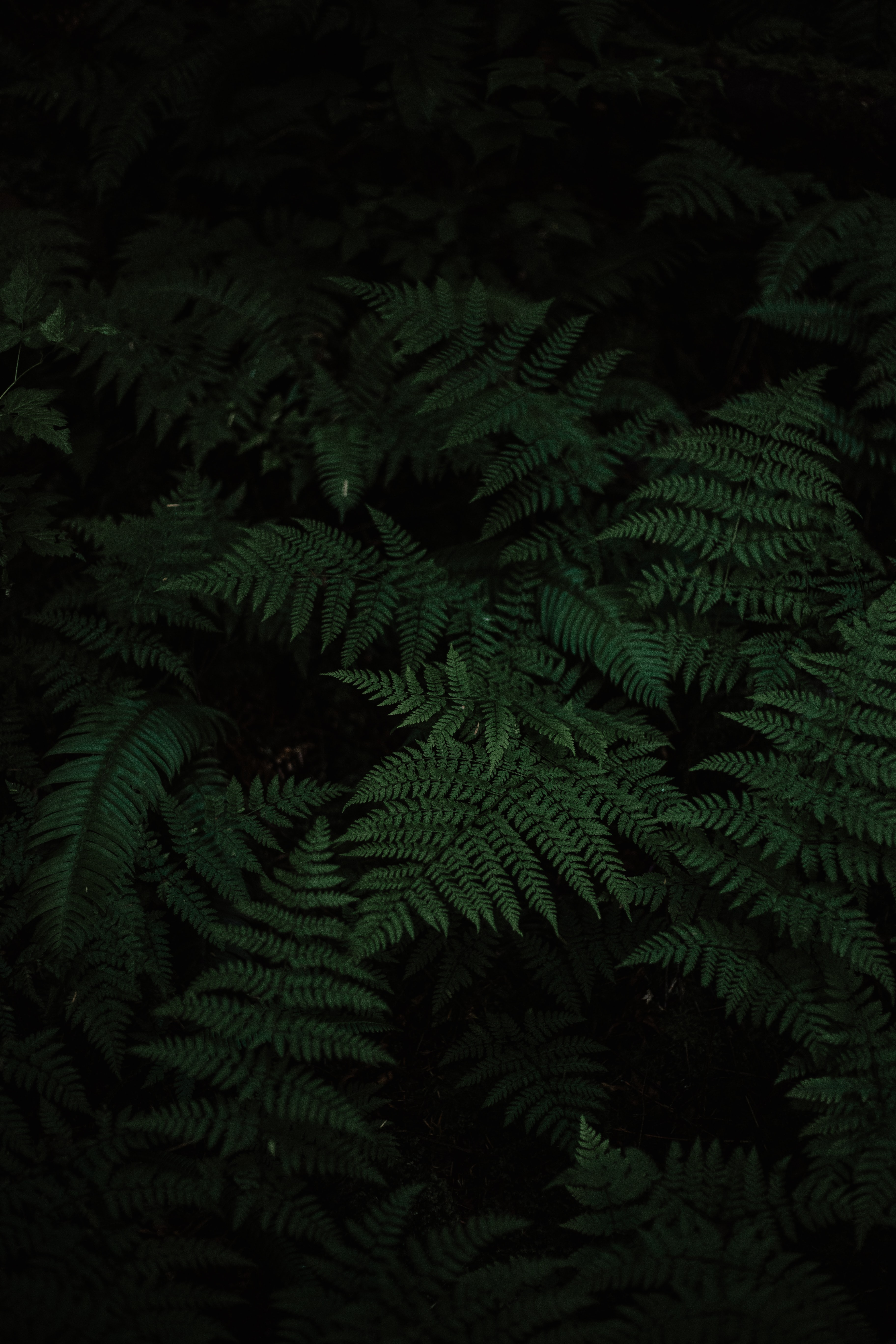 photo of Boston fern