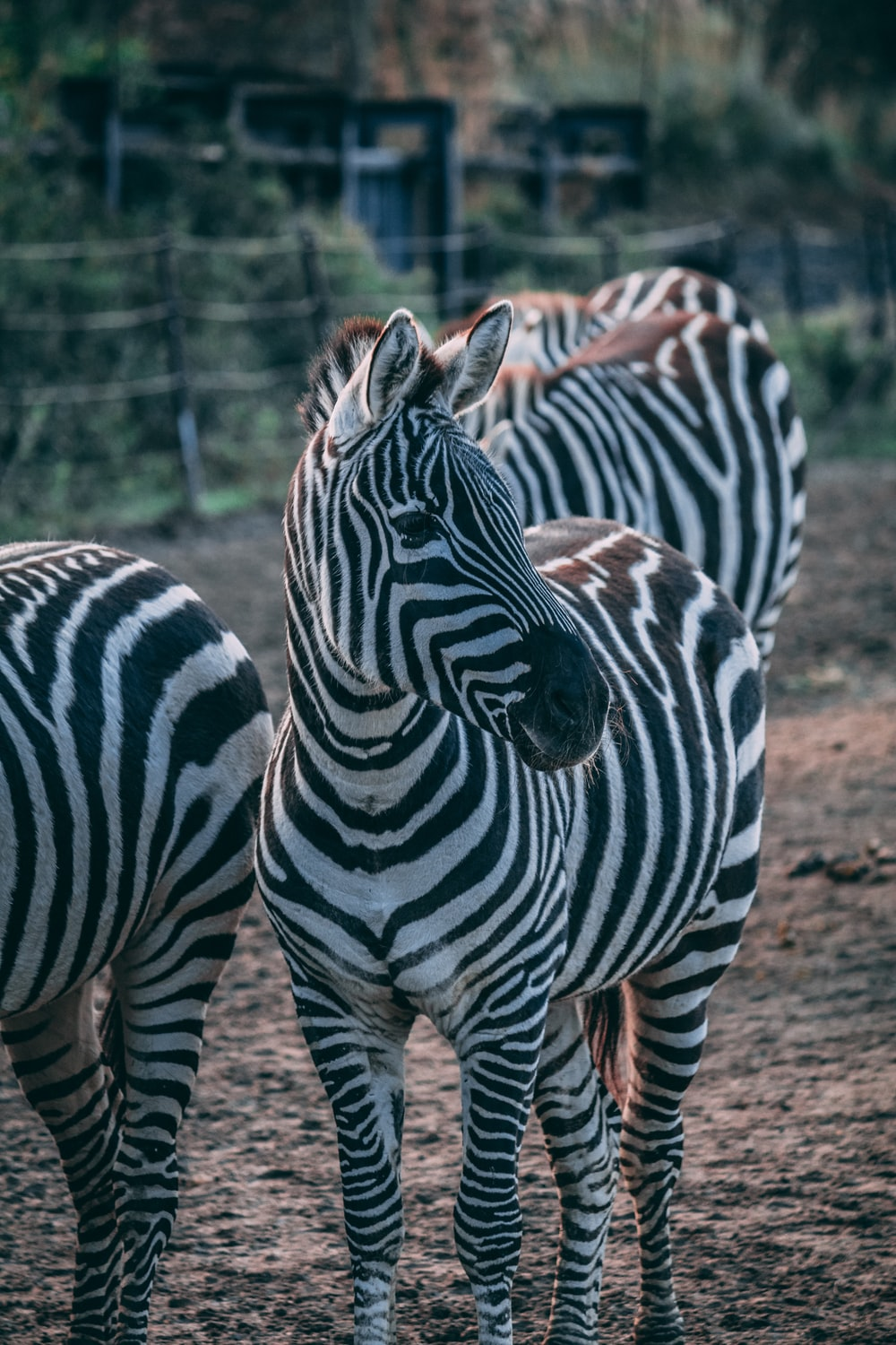 photo of zebra during daytime