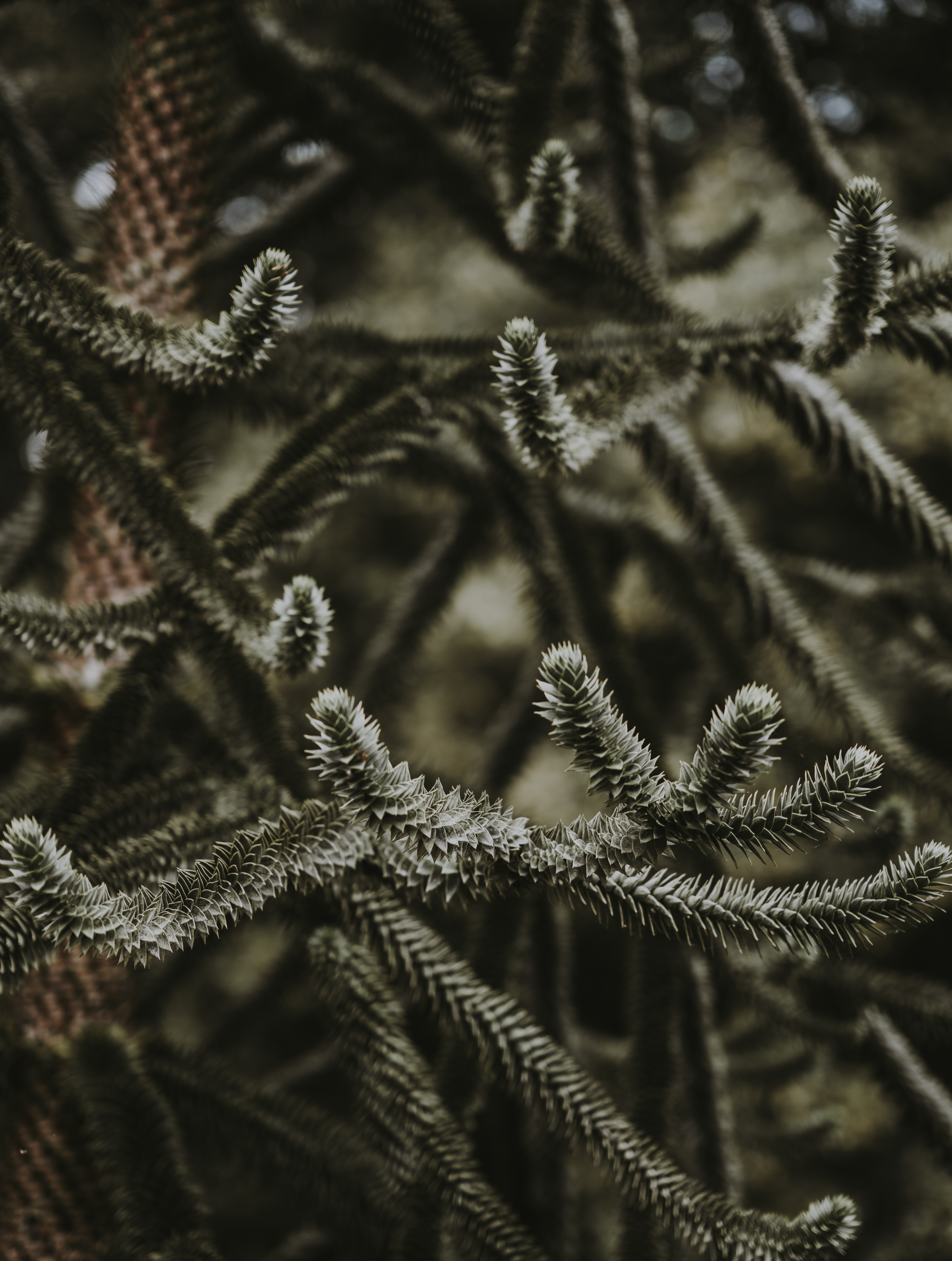 closeup photography of pine trees at