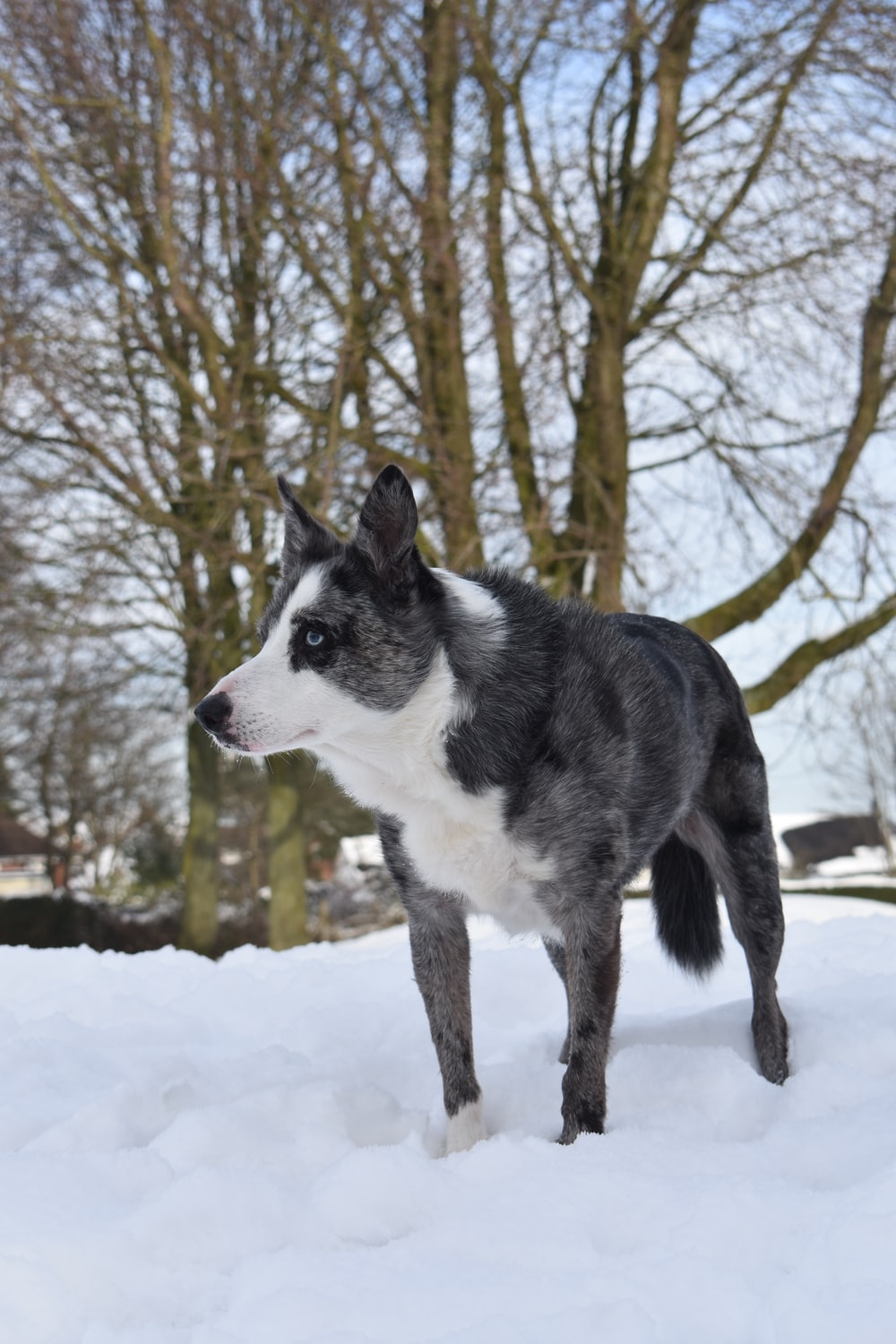 black and white dog standing on snow