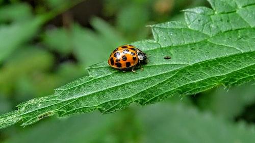 Lore of a Ladybug