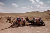 two camels kneeling on dessert