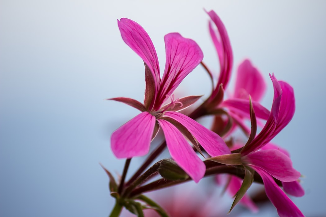 Citrosa Geranium | 63 Amazing Pest And Insect Repellent For Plants You Should Know