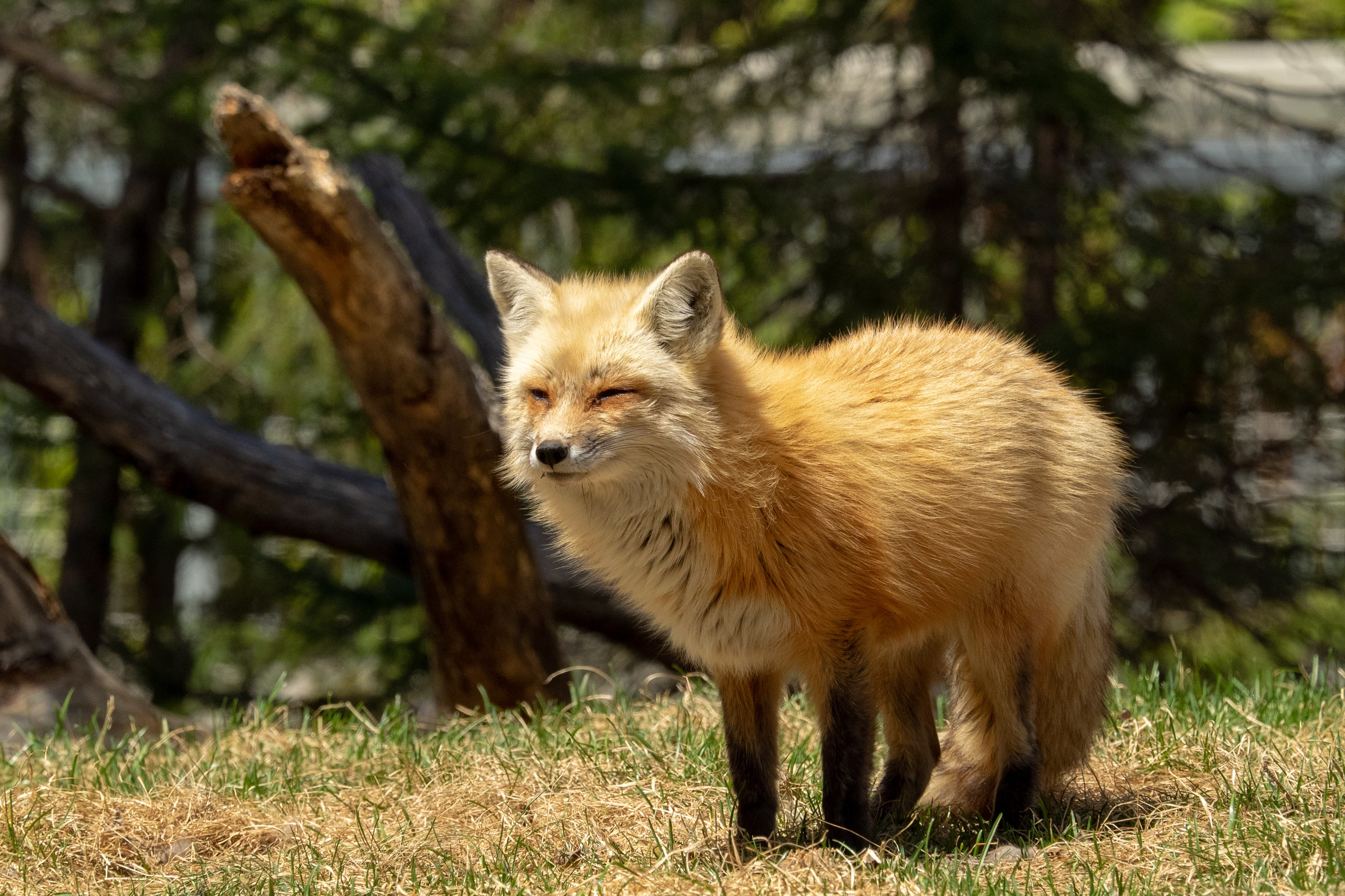 brown fox on grass field