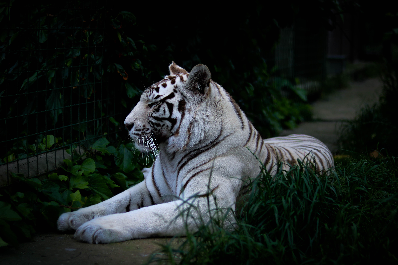 white tiger lying on grass