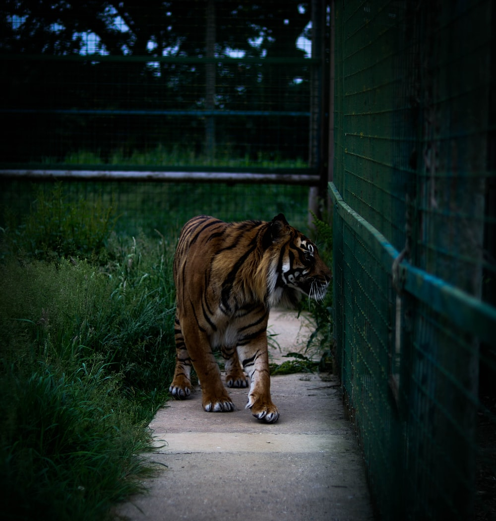 Tiger standing beside wall