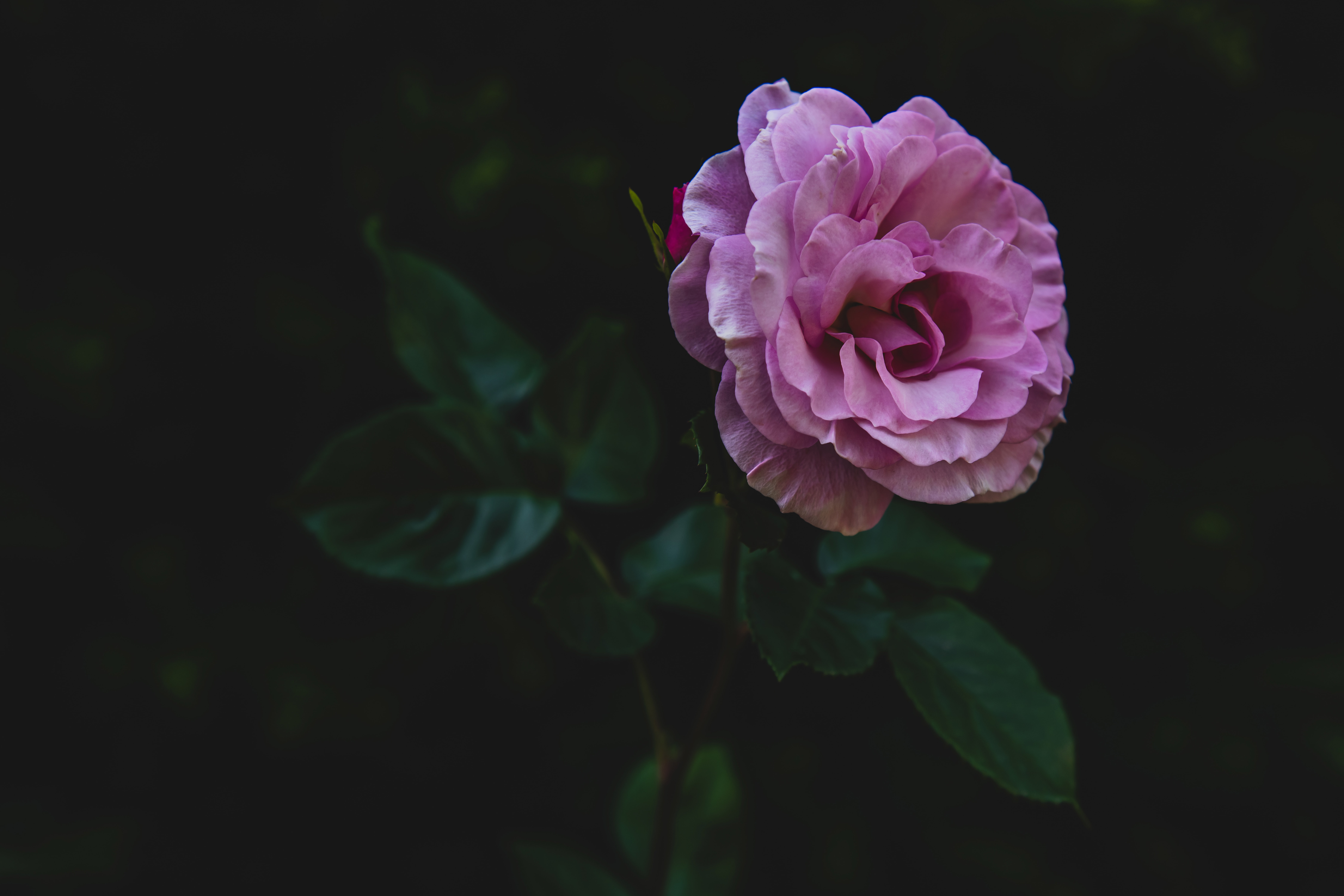 pink rose flower with green leaves