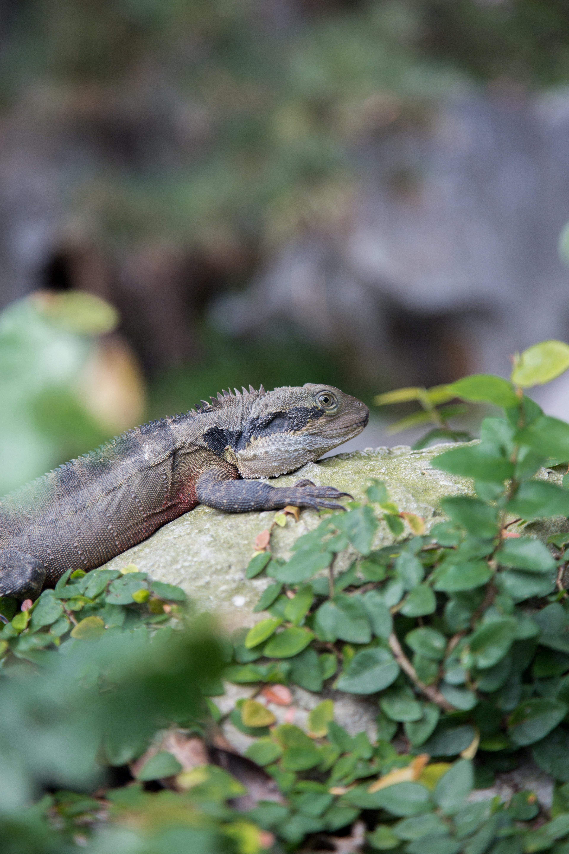 grey iguana lying on grey rock during daytime