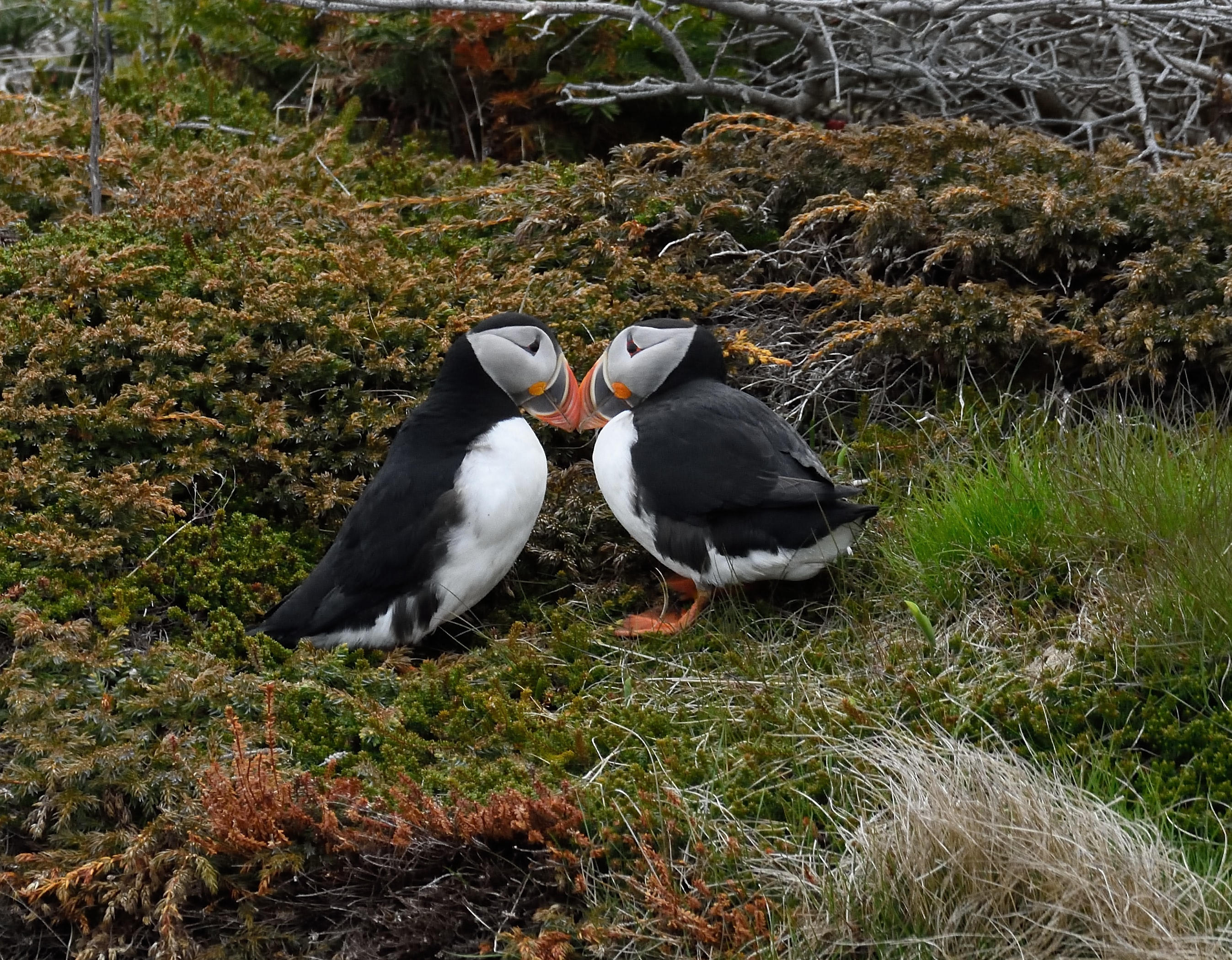 two puffin birds on grass